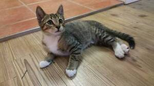 Pharaoh - KITTEN KAPERS RESCUE Cleveland Redland Area Preview