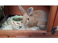 x2 female bunnies, 9 months old, unspeyed, to b sold together