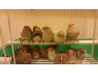 Zedra finch many color single and pair and cage + Foods