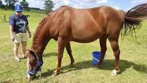 Broodmare/ companion Appin Wollondilly Area Preview