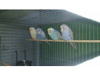 9 week old baby budgies ( parrot, finch, )