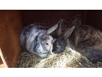 Pair of bonded rabbits and 8ft hutch.