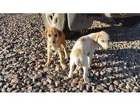 Lurcher Puppies - Saluki bull greyhound