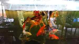 Large goldfish Gosnells Gosnells Area Preview