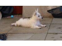 Male Westie (White) Puppy