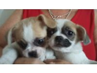 2 boy puppies for sale