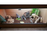 Young male bearded dragon and set up for sale