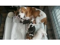 KC Quality Health Tested Beagle Puppies