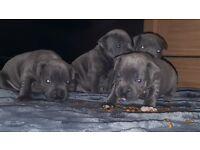 Best Breed Short Leg Blue Staffordshire Bull Terrier Puppies