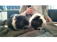 2 Female guinea pigs need a loving home