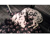 Stunning Dalmatian puppies for sale