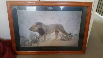 Big Framed National Geo Lion Framed Art! Upper Coomera Gold Coast North Preview