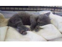 Grey Male Kitten