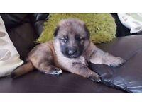 Bitch Alsatian puppy