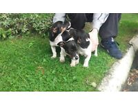 Jack Russell terriers for sale!