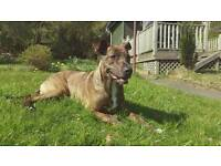 Staffie X looking for loving home