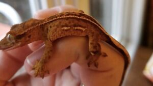 High-end Crested gecko group deal + zoo med tank*exo hood lamp