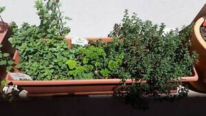 Trio herbs in square long pot, parsley, oregano, thyme Botany Botany Bay Area Preview