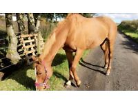 lovely mare for part loan
