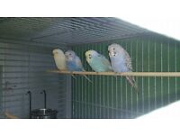 11 week old baby budgies ( bird , parrot, )