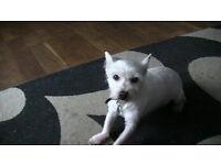 wesy highland terrier
