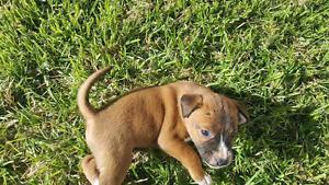 Staffy x sharpei pups Athol Park Charles Sturt Area Preview