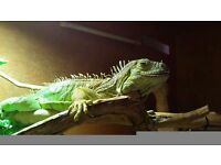 Friendly very tame female 10 yr old iguana