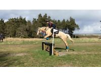 15.2hh gelding for share.