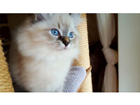 beautiful Neva Masquerade kittens are looking for new homes