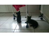 2 black boy kittens