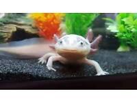 Female leucistic and golden albino axolotl 64l tank