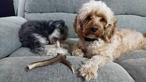 Small Antler Chews for Dogs - Express Posted Australia Wide Scone Upper Hunter Preview