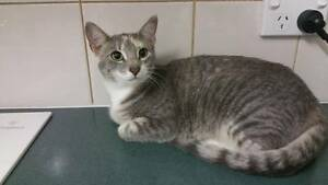 Maple - KITTEN KAPERS RESCUE Cleveland Redland Area Preview