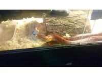 Corn snakes for sale, male and female