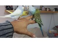 Semi team young budgies and regular colour pair and single budgies and cage