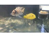 3 lovely cichlids