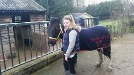 Six-year-old coloured mare for sale £600