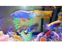 WOW *+* MALAWI CICHLID CLEARANCE OFFER *+* TROPICAL FISH FOR SALE, HAP's, PEACOCKS AND MBUNA