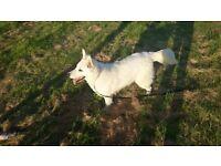 White Swiss Shepherd, one year old, female
