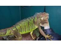 Female iguana and custom setup