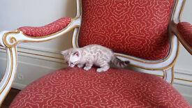 Snow Bengal Kittens (TICA registered) Outstanding beauties