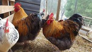 HERITAGE BREED CHICKENS - ORPINGTON, SUSSEX, & MORE - SHOW LINES Childers Bundaberg Surrounds Preview