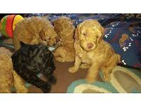 Adorable miniature poodle puppies