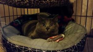 AK1302 : Kyra - KITTEN for ADOPTION - Vet work included Port Kennedy Rockingham Area Preview