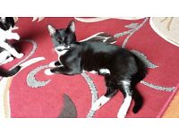 Kitten maincoon/Bengal crossed