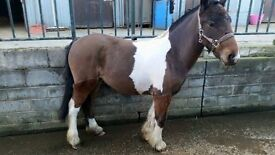 Pony for sale £600 owned her all her life. I no everything about her.