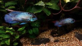 Stunning Pair Electric Blue Acara Cichlids Tropical fish
