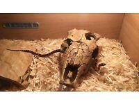 Cornsnake and cage for sale