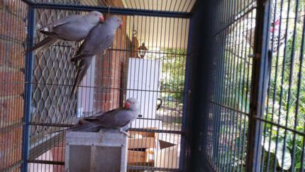 Indian Ringnecks Available  Capalaba Brisbane South East Preview