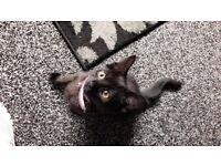 missy all black kitten